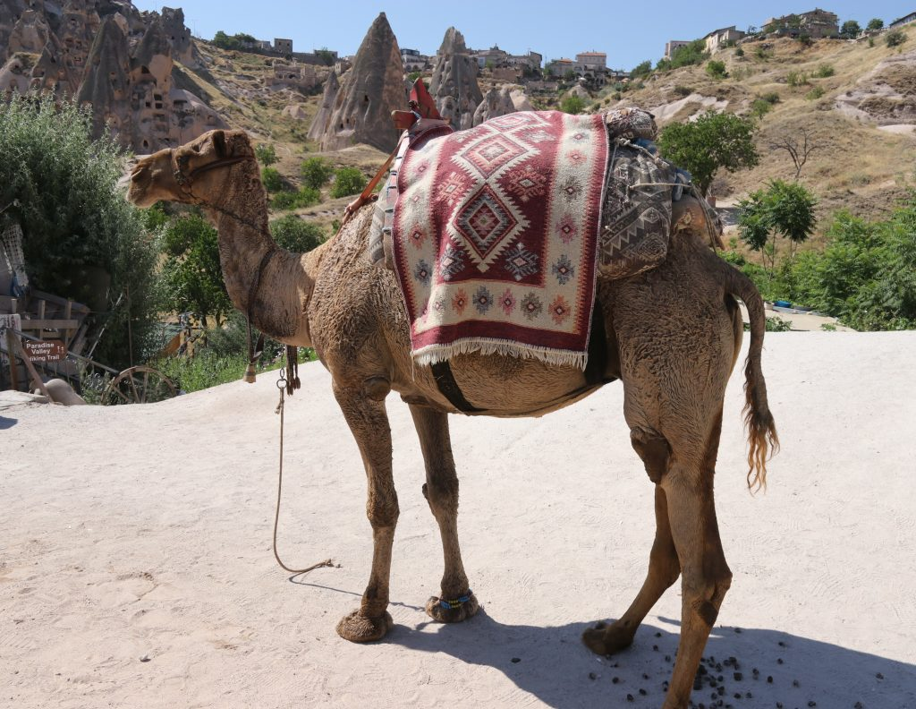 camel with traditional Turkish rug draped on its back