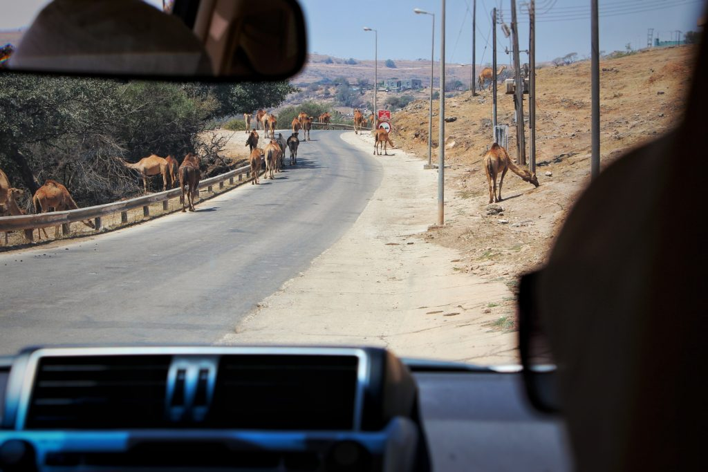 camels block the road in salalah, oman
